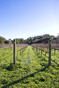 LionMillVineyards_Vines